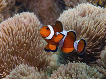 Anemonenfisch von Peter Bublitz
