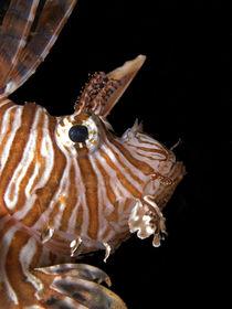 Rotfeuerfisch von Peter Bublitz