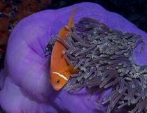 Malediven Anemonenfisch von Peter Bublitz