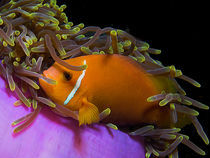 Malediven-Anemonenfisch by Peter Bublitz