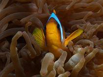 Anemonenfisch by Peter Bublitz