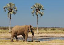Elefant am Wasserloch zwischen Palmen von Markus Ulrich