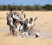 Chaotische Zebras von Markus Ulrich