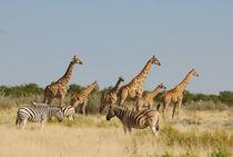 Giraffen und Zebras im Etoscha-Nationalpark von Markus Ulrich