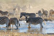 Zebras am Wasserloch by Markus Ulrich