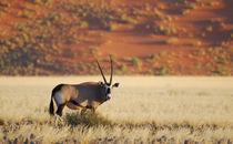 Oryx-Antilope von Markus Ulrich
