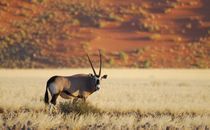 Oryx-Antilope by Markus Ulrich