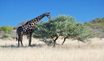 Äsende Giraffe von Markus Ulrich
