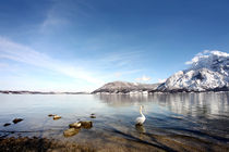 Schwan im Bergsee von Norbert Fenske