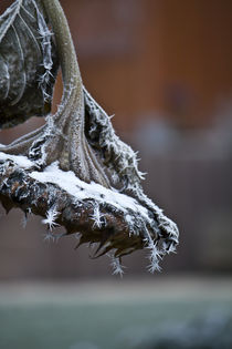 iced sunflower by serophotography