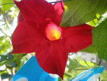 Blüte von Henriette Abt