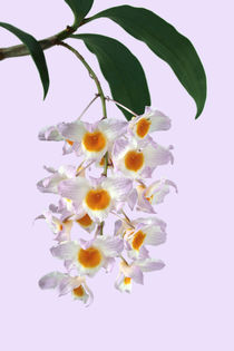 Orchidee - Dendrobium farmeri - by monarch