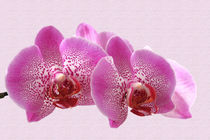 Orchidee Phalaenopsis von monarch