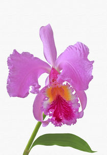 Laelia Cattleya Orchidee by monarch