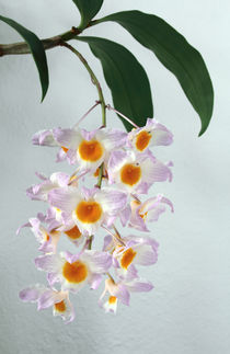 Orchidee - Dendrobium farmeri - von monarch