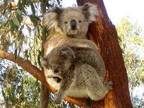 Koalas in freier Natur in Australien von mellieha
