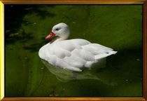 WHITE DUCK by photofiction