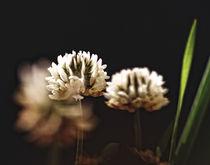 Kleeblüte von allrounder