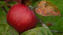 Korber Apfel im Herbst by juergenrose