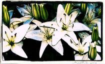 weiße Lilien von netti75