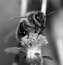 Honigbiene by kony