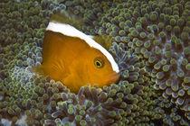 Anemonenfisch von Volker Rohe