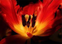 lockende Erotik der Tulpe von Diana vonBohlen