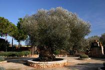 Alter Olivenbaum von rheo