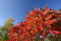 Hirschkolbensumach im Herbstkleid von rheo