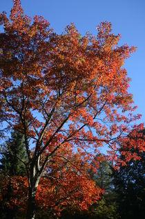 Amerikanische Eiche im Herbst by rheo