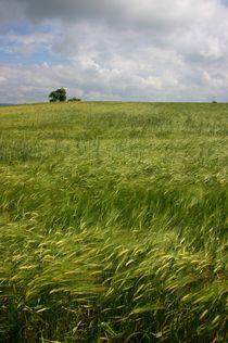 Getreidefeld von rheo