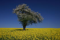 Blühender Baum by rheo