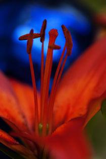 Feuerlilie von pahit