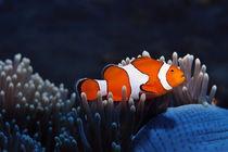 Anemonenfisch by Siegfried Meyer