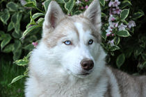 Blue Eyes by huskymile