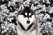 Siberian Husky von huskymile
