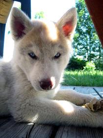 Husky Welpe von huskymile