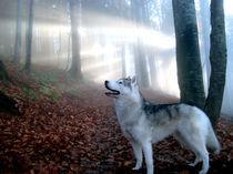 Husky im Herbst by huskymile