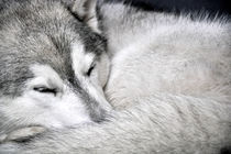 grey von huskymile