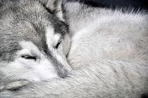 grey by huskymile