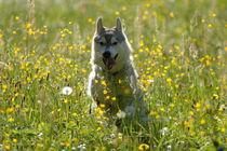 running Husky by huskymile