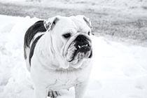 Englische Bulldogge von Holger Schöbitz