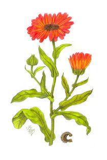 Noch eine Ringelblume von Klara Luise Maxeiner