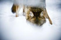 Wolf von martin förster
