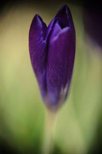 Purple Beauty by rubyred