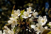 Kirschblüte by rubyred