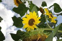 Sonnenblumen by loveangelmusic