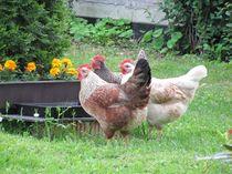Hühnertreff von Marie Schmetz