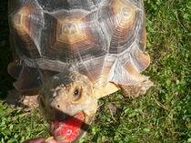 Riesenschildkröte beim Erdbeerschmaus