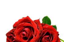 rote Rosen von Magda Fischer